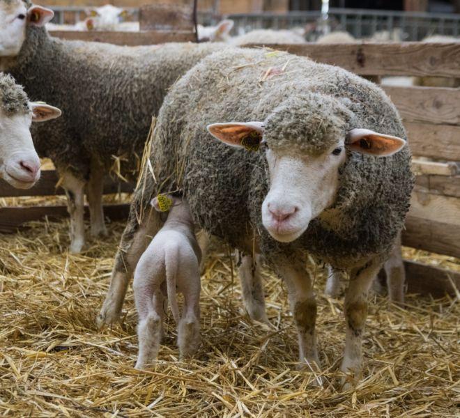 agneaux - bambecque-1-4 [1600x1200]